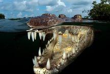 Reptiles crocodiles bugs / Reptiles crocs bugs etc.