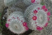 Cactus Greece  Griego cactus / Cactus   gardening