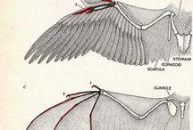Anatomie d'animaux
