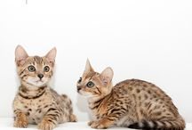 Bengal kittens / New litter