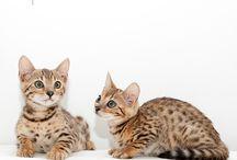 Bengal kittens / New litter