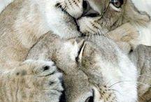 Dois leões.