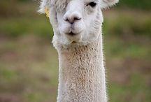 Drama UR Llama / by Adrian Nethercott