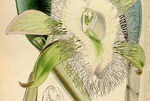 illustrazione botanica