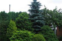 Сад хвойные