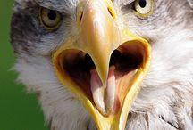 Eagles / Birds