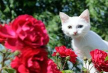 Van kedileri,özellikleri ve kedi türleri