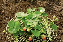 Gradinarit / Gradini, Plante decorative, comestibile.