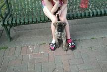 English Mastiff Katie / by Cathy Silkwood