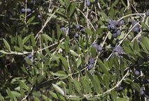 Te de hojas de olivo verde para herpez