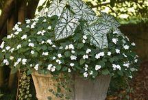 kontajnerové rastliny