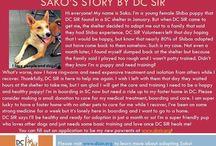 Sako - Adopted! / Sako - Female - 9mo - Shiba medical need