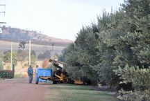 Grove and tasting room  / Ahh... the serenity! Images of our beautiful grove and tasting rooms around Australia!