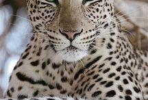 Léopard incroyable des yeux verts