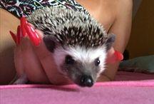 Hedgehog / Hedgehog