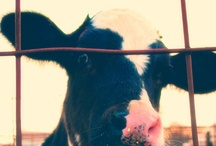 COWS / by Sara Oliver-Traver