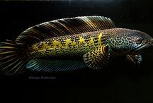 Channa Snakehead Fish