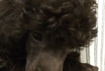 Trilby / My Brown Toy Poodle ....