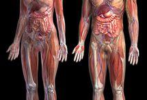 Anatomi...