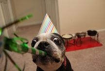 Boston Terrier Birthdays! / Celebrate with us, celebrate with them!