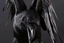 Crow/raven