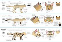 felini anatomia