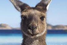 Kangaroos <3