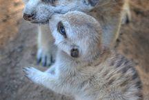 Animaux de petites tailles. / Lémurs, Koalas, Moufettes, Castor, Hermines, etc... / by Renée