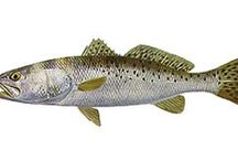 Speckled Trout Fish Paintings / Collection of speckled trout fish paintings by various artists.