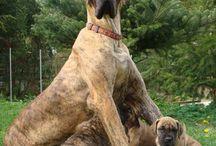 Dogge