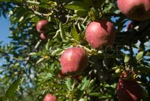 Loss to apple crop in kashmir
