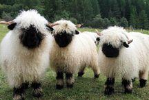 Lovely Sheep / Un animal magnífico