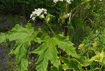 Berce du Caucase - Giant hogweed