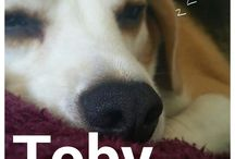 Toby our Beagle / Board is all about our beagle named Toby