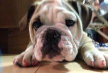 Hemingway the English Bulldog