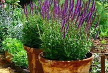 Lavendel i kruka