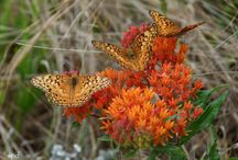 Native Plants for Pollinators / These natives provide high quality nectar and/or are host plants for butterfly caterpillars.