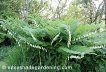 Solomons Seal Shade Plants / Solomons Seal shade plants have lush green foliage with little white flowers hanging in rows