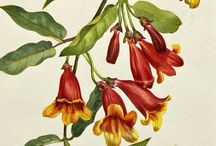 Botanical painting/scientific illustration