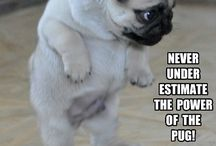 Pugs and More Pugs
