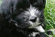 Lhasa Apso / My puppy, Ronja, is 75% Lhasa Apso