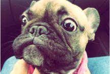 Lola the frenchie / Frenchie puppy Lola