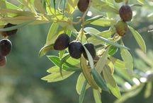 Olivenöl / Herstellung von und Wissenswertes über Olivenöl