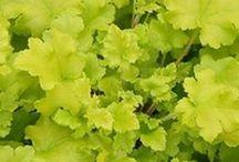 tűzgyöngyvirág,- Heuchera / kőtörőfű- félék