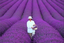 ♥ Lavender