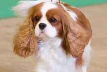 Cavaliers / My Favorite Breed.  They are so loving, so loyal, so eager to please.  Once you are around one, you will never be happy until you have one or more... / by Beverly McIntyre