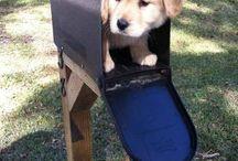 Golden Retriever / Dogs