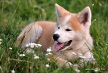 Akita Dog 2013 / by Hugo Talk