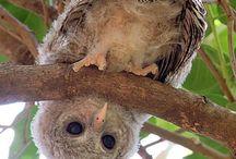 Owls / Baykuş