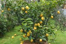 Growing lemons